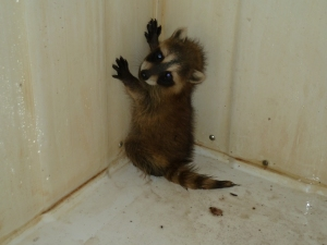 This little guy had fallen down from the attic where mama raccoon had left him